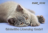 Marek, ANIMALS, REALISTISCHE TIERE, ANIMALES REALISTICOS, cats, photos+++++,PLMP6392,#a#, EVERYDAY