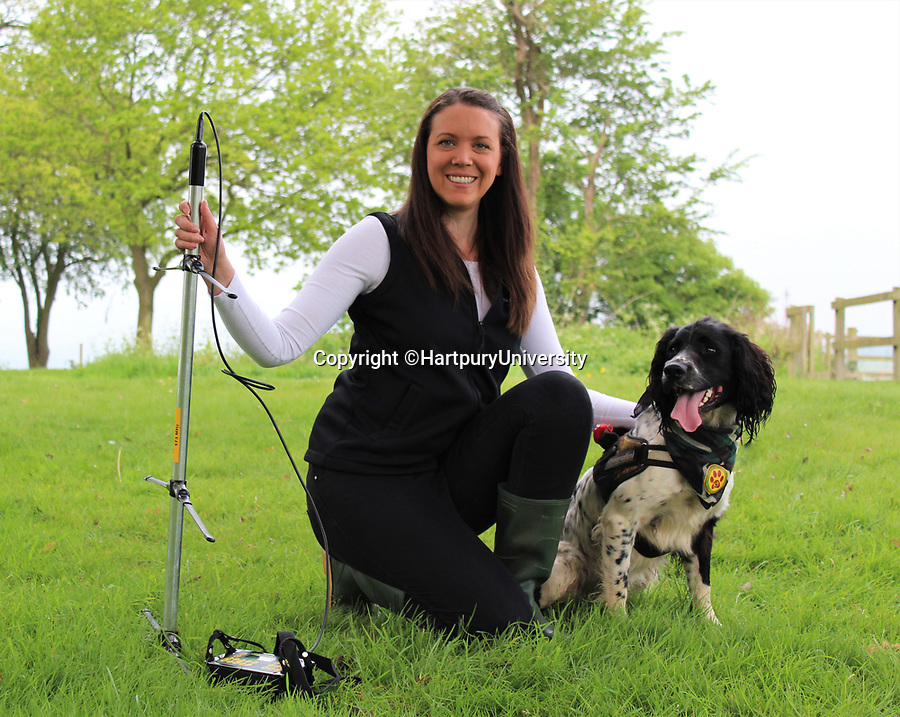 BNPS.co.uk (01202 558833)<br /> Pic:   HartpuryUniversity/BNPS<br /> <br /> Henry the springer spaniel with Lucy Bearman-Brown.<br /> <br /> A resourceful sniffer dog is being specially trained to detect hedgehogs - in a bid to save their dwlinding population.<br /> <br /> Henry the springer spaniel locates the prickly creatures so they can be moved out of harm's way ahead of land development projects.<br /> <br /> When he finds one, he quietly sits next to it so his handler can come and investigate, earning a game of fetch as a reward.<br /> <br /> With his remarkable sense of smell, which is 100,000 times more sensitive than a human's, he can detect a hedgehog hidden in a bush 250 yards away.<br /> <br /> The research project, the first to its type, is being overseen by Lucy Bearman-Brown, senior lecturer in Animal Science at Hartpury University