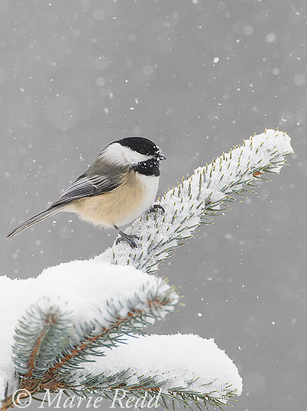 Black-capped Chickadee (Poecile atricapilla) perched on spruce branch in snowstorm, New York, USA