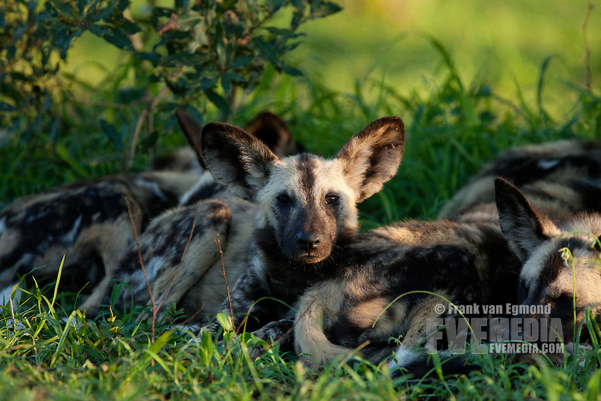 African Wild Dogs (Lycaon pictus)...Pack. Endangered species...Hluhluwe Imfolozi Game Reserve..Kwazulu-Natal, South Africa..November 2010.