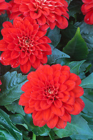 Dahlia 'Bermuda Beach' red