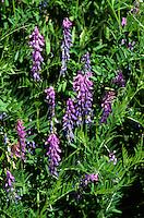 Vogel-Wicke, Vogelwicke, Wicke, Vicia cracca, tufted vetch, cow vetch, bird vetch, boreal vetch