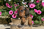 Bob, ANIMALS, REALISTISCHE TIERE, ANIMALES REALISTICOS, dogs, photos+++++,GBLA4351,#a#, EVERYDAY