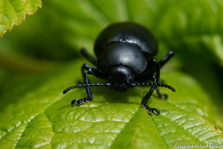 Bloody Nosed Beetle, Timarcha tenebricosa, Capel-le-Fern, Kent UK, flightless, unusual defence mechanism: when threatened, it secretes a distasteful blood-red liquid from its mouth