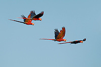 Two pairs of scarlet macaws, Ara macao, fly at treetop level near Tarcoles, Costa Rica.