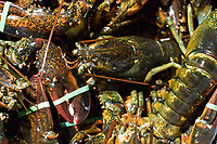 Live lobsters are seen in crates at Island Seafood's receiving facility in Eliot, Maine, USA, on Wed., Jan. 31, 2018.