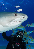 RW4163-Dv. Tiger Shark (Galeocerdo cuvier), 12 foot long female passes close to experienced dive master. Bahamas, Atlantic Ocean. Cropped to vertical from native horizontal format.<br /> Photo Copyright &copy; Brandon Cole. All rights reserved worldwide.  www.brandoncole.com