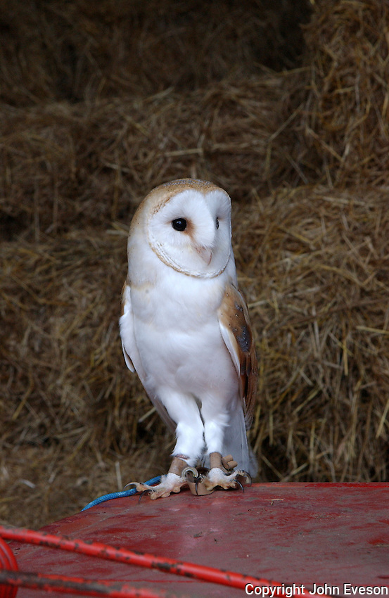 Barn owl on a tractor in a barn.