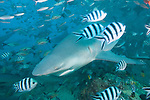 Beqa Lagoon, Pacific Harbor, Fiji; a Bull Shark swims through an aggregation of Pilot fish, Snapper and other reef fish