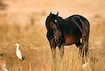 Wild horse, Cumberland Island, Georgia