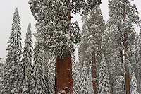 Giant Sequoias, the world's largest trees, in falling snow.