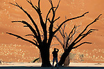 Tourist photographing dead camelthorn acacia trees in Dead Vlei with sand dune in background, Sossusvlei region, Namib-Naukluft National Park, Namibia.
