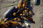 kelp on Arroyo Burro Beach