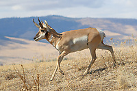 A pronghorn antelope buck runs through dry grass in the foothills of Montana. A pronghorn antelope buck runs through the dry grass in the foothills of western Montana.<br />