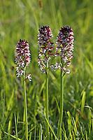 Brand-Knabenkraut, Brandknabenkraut, Brandorchis, Brand-Orchis, Orchis ustulata, Neotinea ustulata, Burnt orchid, burnt-tip orchid, Burnt tip orchid