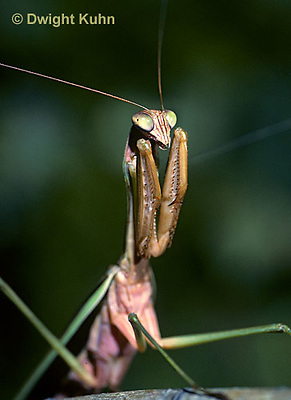 1M33-005b  Praying Mantis adult displaying in praying position - Tenodera aridifolia sinensis