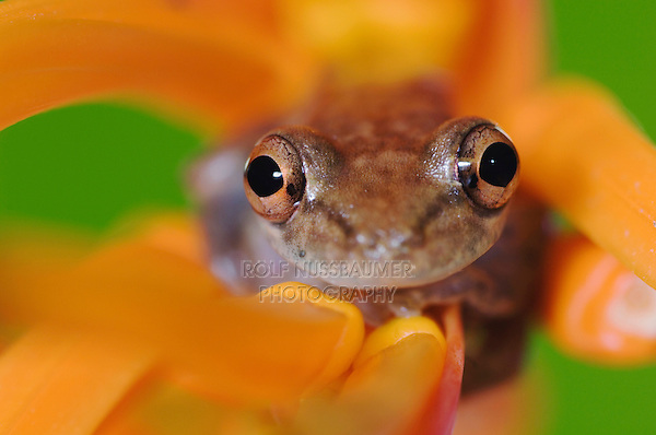 Emerald Glass Frog, Centrolene prosoblepon, adult in Heliconia Flower(Heliconia psittacorum), Central Pacific Coast, Costa Rica, Central America