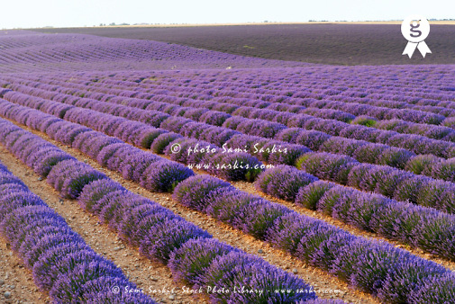 France, Provence, Plateau de Valensole, Lavender field (Licence this image exclusively with Getty: http://www.gettyimages.com/detail/sb10065474s-001 )