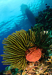 Schlegel's feather star (Comaster schlegelii) with boat in the background., Gorontalo, Sulawesi, Indonesia