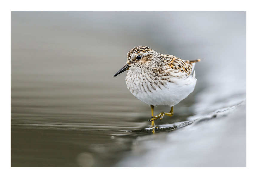 USA, Alaska, Cordova, Prince William Sound. Least Sandpiper (Calidris minutilla) feeding on Hitchinbrook Island.
