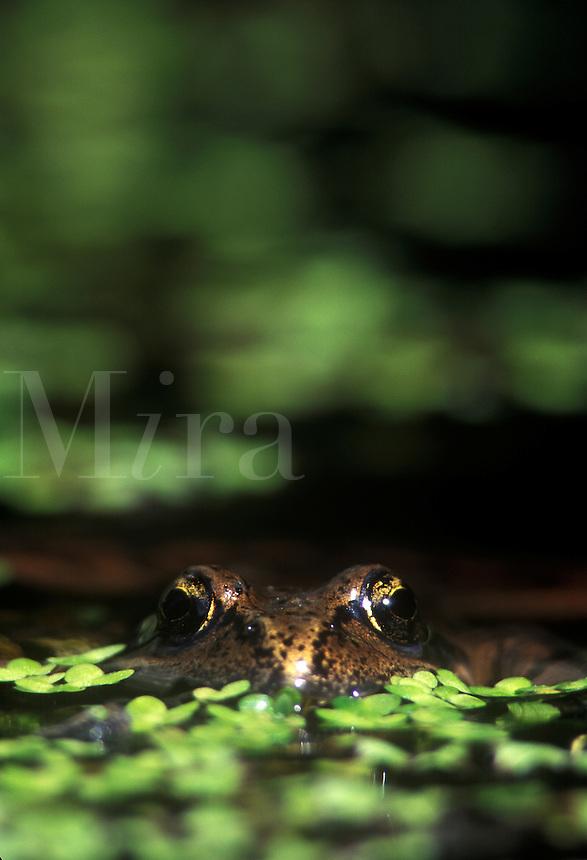 Pacific Tree Frog in a pond, Hyla regilla. Olympic peninsula, WA