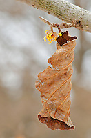 A Wiych Hazel Blossom and leaf is shown on a late winter's day, Morton Arboretum, DuPage County, Illinois