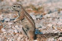 Cape Ground Squirrel ( Xerus inauris), adult, Namibia, Africa