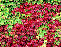 Boston Ivy (parthenocissus triuspidata) in fall color. Corvallis, Oregon.