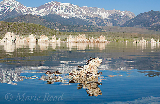 Wilson's Phalaropes (Phalaropus tricolor) group on low tufa outcrop at Mono Lake California, Sierra Nevada in background, USA