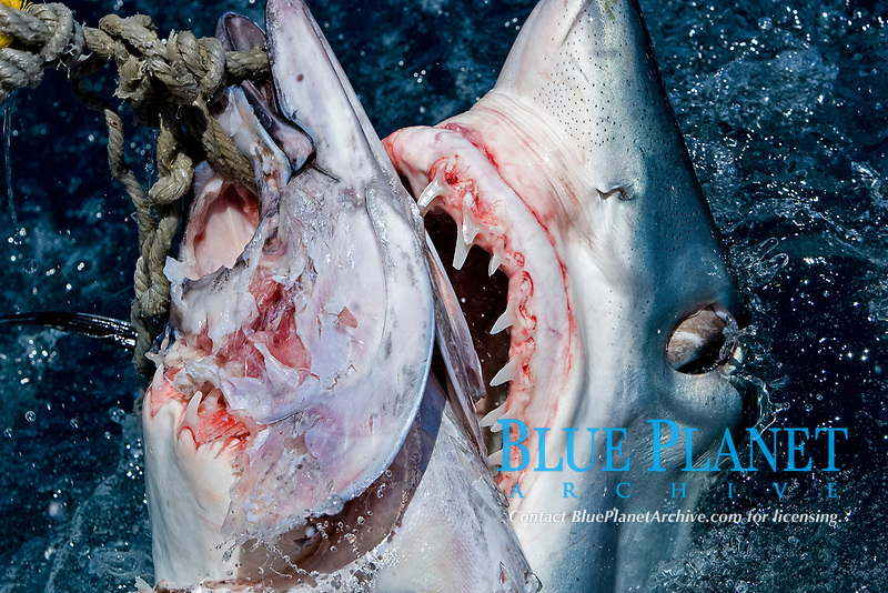 mako shark, Isurus oxyrinchus, feeding on bait, note teeth, Cape Point, South Africa
