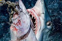 mako shark, Isurus oxyrinchus, feeding on bait, note teeth, Cape Point, South Africa