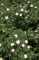 Hunds-Rose, Hundsrose, Rose, Rosa canina, Dog Rose, Common Briar