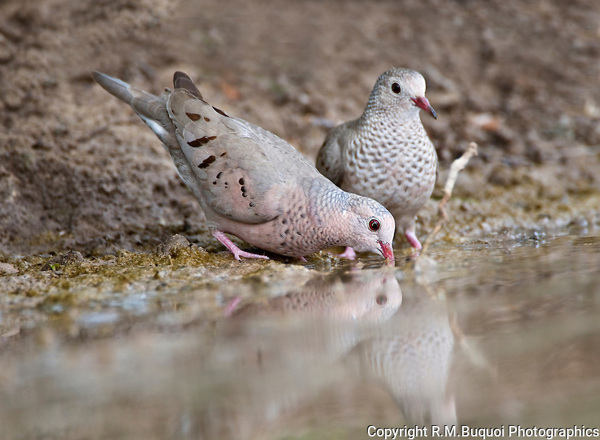 Common Ground-Doves drinking from pond.