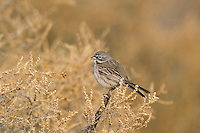 578830008 a wild sage sparrow amphispiza belli nevadensis perches on a sagebrush plant in kern county california