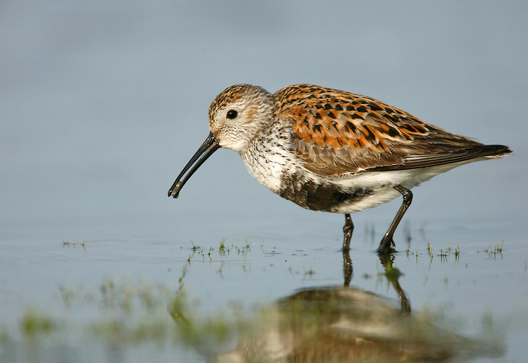 Dunlin - Calidris alpina - breeding adult