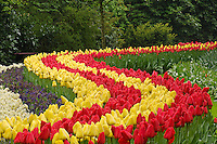 Long winding row of red and yellow tulips, Garden of rhododendron, daffodils, tulips, and hyacinth flowers, Keukenhof Gardens, Lisse, Netherlands, Holland