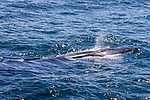 Sei Whale, On Way From Tierra Del Fuego Towards The Falkland Islands