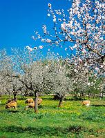 Spanien, Balearen, Mallorca, Schafe unter Mandelbaeumen | Spain, Balearic Islands, Mallorca, sheep and almond trees