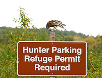 Hawk Eating a Snake Perched on Hunter Parking Sign