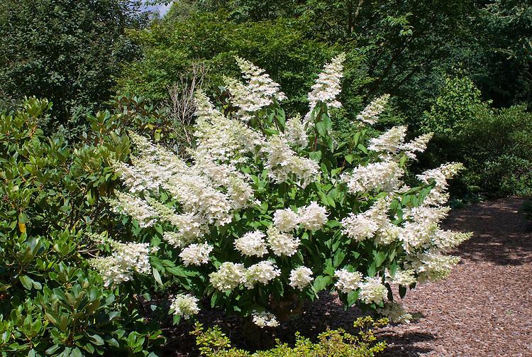 hydrangea paniculata 39 grandiflora 39 plant flower stock photography. Black Bedroom Furniture Sets. Home Design Ideas