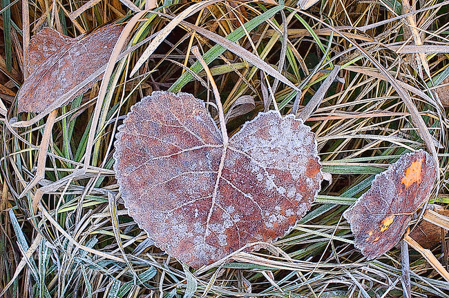 Digital art of frosty leaves, created from a origanal photograph