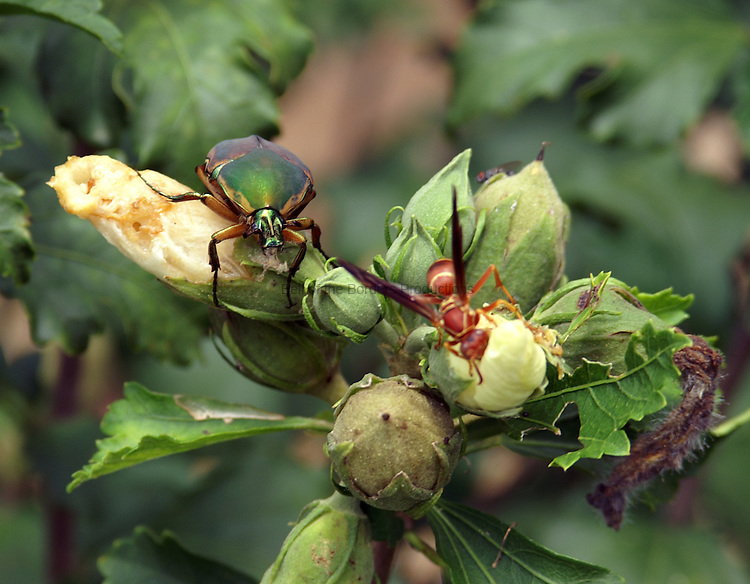 The wilting flowers of the Rose of Sharon attract insects to eat the petals. A green scarab beetle and a wasp are enjoying a snack.