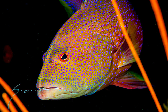Coral Grouper close up, Cephalopholis miniata, Maldives