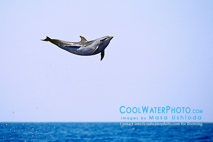 Pantropical Spotted Dolphin calf, leaping to shake off remora, Stenella attenuata, off Kona Coast, Big Island, Hawaii, Pacific Ocean.