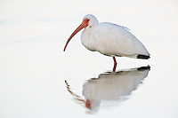 White Ibis, Eudocimus albus, Ding Darling National Wildlife Refuge, Sanibel Island, Florida