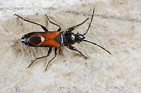 Bodenwanze, Pterotmetus staphyliniformis, Pachymerus staphylinoides, Bodenwanzen, Langwanzen, Lygaeidae, milkweed bugs, seed bugs