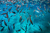 GALAPAGOS ISLANDS, ECUADOR, Isabela Island, Punta Vicente Roca, fish school in the clear waters off of Isabela Island