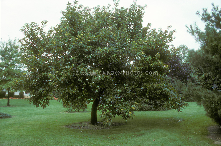 American Chestnut tree showing entire tree plant habit form and lawn grass below