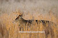 01982-01311 White-tailed Deer (Odocoileus virginianus) buck in grass   TN