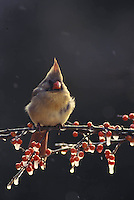 Female Cardinal perched on branch of icy holly berries in winter